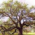 Emancipation Oak  Symbol Of Freedom by Ola Allen