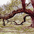 Emancipation Oak Tree Branches At Hampton University by Ola Allen