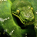 Emerald Python by Adam Jeffery Photography