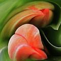 Emerging Tulips by Carel Schmidlkofer
