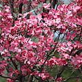 Enchanted Pink Dogwood Tree by Carol Groenen