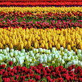 Endless Beautiful Tulip Fields by Garry Gay