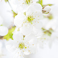 Ethereal Blossoms by Emily Johnson