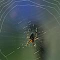 European Garden Spider by Robert Potts