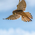 European Kestrel by Framing Places