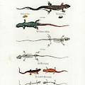 European Lizards And Newts by Johann Daniel Meyer