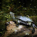European Pond Turtle Sitting On A Trunk In A Pond by Stefan Rotter