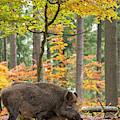 European Wild Boar by Arterra Picture Library