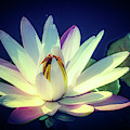 Evening Water Lily by Julie Palencia