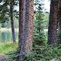 Evergreen Forest by Tammie J Jordan