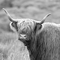Face-to-face With A Highland Cow - Black And White by Maria Gaellman