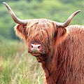 Face-to-face With A Highland Cow - Colour by Maria Gaellman