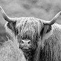 Face-to-face With A Highland Cow - Monochrome by Maria Gaellman