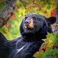 Fall Black Bear by LeeAnn McLaneGoetz McLaneGoetzStudioLLCcom