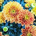 Fall Chrysanthemums Autumn Orange Peach by Rachel Hannah