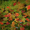 Fall Color - Maple Tree by Dale Powell