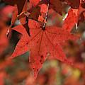 Fall Sweetgum Leaves Df002 by Gerry Gantt