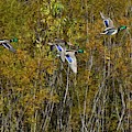Fall Time Mallards by Dwight Eddington