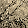 Fallen Branch In Simi Valley California In Sepia by Colleen Cornelius