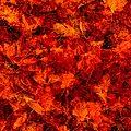 Fallen Red Maple Acer Sp. Leaves by Eastcott Momatiuk
