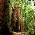 Fallen Trees In The Muir Woods by Christiane Schulze Art And Photography