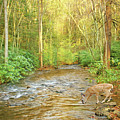 Fawn Drinking From Stream by Laura D Young