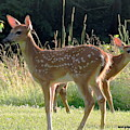 Fawns On A Summer Evening by Tami Quigley