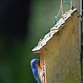 Feeding Her Baby - Eastern Blue Bird by Dale Powell