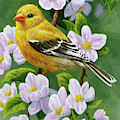 Female American Goldfinch And Apple Blossoms by Crista Forest