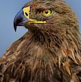 Female Golden Eagle Aquila Chrysaetos Wildlife Rescue by Dave Welling