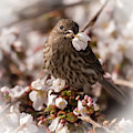 Female House Finch With Flower Soft Square by Terry DeLuco