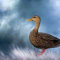 Female Mallard Duck by Kim Hojnacki