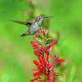 Female Ruby-throated Hummingbird Dsb0316 by Gerry Gantt