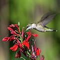 Female Ruby-throated Hummingbird Dsb0319 by Gerry Gantt