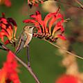 Female Rufous Hummingbird At Rest by Robert Potts
