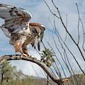 Ferruginous Hawk by Dan McManus