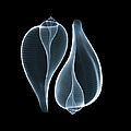 Ficus Communis by Nick Veasey