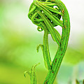 Fiddlehead Unfurling by Christopher Holmes