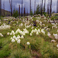 Field Of Bear Grass by Cat Connor