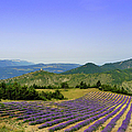 Field Of Lavender by Laurence Duris