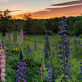 Field Of Lupines At Sunrise by Darylann Leonard Photography
