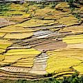 Fields Of Rice by Scott Kemper