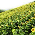 Fields Of Yellow by Shane Kelly