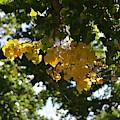 First Golden Leaves by Brenda Landdeck