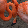 Flamingo Couple by Charlotte Schafer