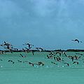 Flamingos In Curacao by Slim Aarons