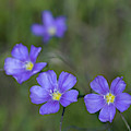 Flax Wildflowers by Cascade Colors