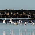 Flight Of Terns by Robert Potts