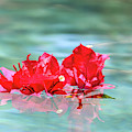 Floating Bouganvillea by Dawn Richards