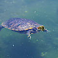 Floating Turtle by Jeff Swan